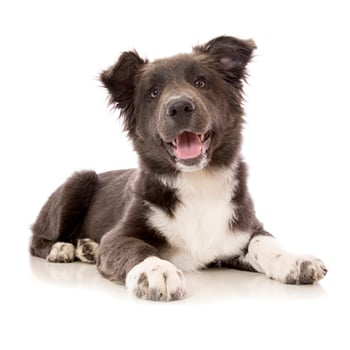 A rare blue coloured Border Collie puppy isolated on white.